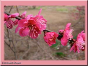 PlumBlossom02aRC