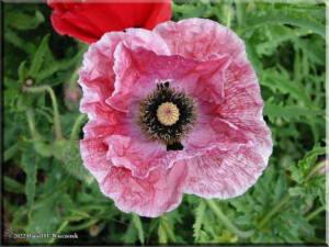 Poppy05RC