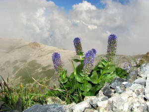 July 23, 2010 381D - Near Mt. Shiroumadake - <I>Lagotis glauca</I> and Mountain - Original