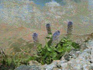 July 23, 2010 381D - Near Mt. Shiroumadake - <I>Lagotis glauca</I> and Mountain - Mosaic