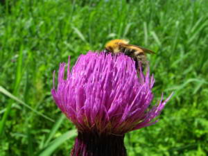 July 15, 2011 024D Oze National Park Thistle & Bee Original