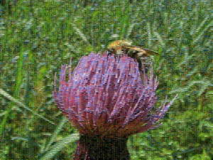 July 15, 2011 024D Oze National Park Thistle & Bee Mosaic