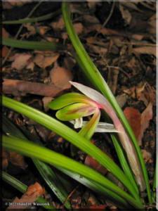 Orchid_Cymbidium_goeringii01RC.jpg