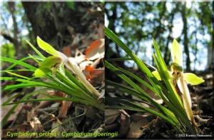 CymbidiumOrchidPostcard01RC.jpg