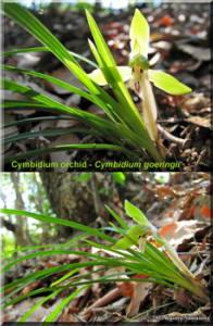 CymbidiumPostcard02RC.jpg