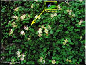 Mar18_Chrysosplenium_album_var_stamineum02a1RC.jpg