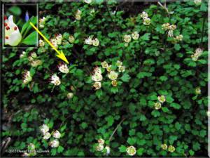 Mar18_Chrysosplenium_album_var_stamineum04aRC.jpg