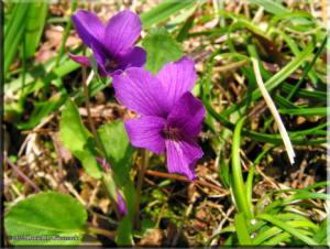 TakaoSciGar_Viola_phalacrocarpa15aRC.jpg