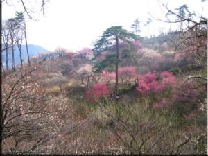 Mar04_HinatawadaPlum08RC.jpg