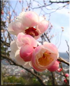 Mar04_HinatawadaPlum34RC.jpg