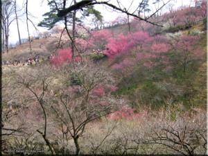 Mar04_HinatawadaPlum51RC.jpg