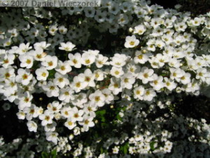 Mar21_ICU_Spiraea_thunbergii02RC.jpg