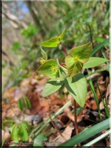 Mar26Hikage06_EuphorbiaSieboldianaRC.jpg