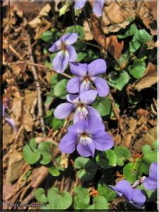 Mar26Ogesawa54_ViolaGrypocerasRC.jpg