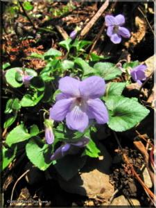 Mar26_Viola_grypoceras02aRC.jpg