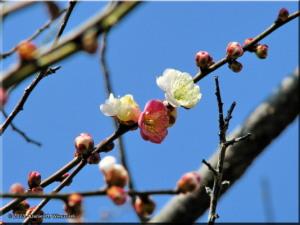 Mar01_Bubaigawara30_PlumBlossomRC.jpg