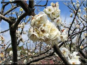 Mar01_Bubaigawara38_PlumBlossomRC.jpg