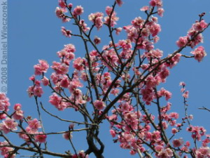 Mar01_Bubaigawara42_PlumBlossomRC.jpg