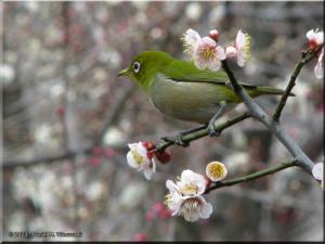 Mar01_Bubaigawara68_Mejiro_Zosterops_japonicusRC.jpg