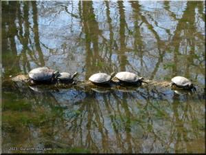 Mar15_JindaiBG_Aquatic_Turtles02RC.jpg