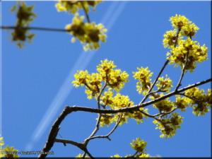 Mar15_JindaiBG_Cornus_officinalis03RC.jpg