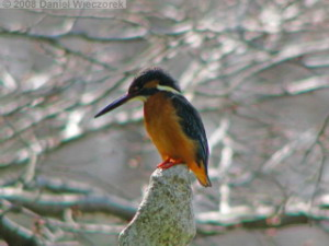 Mar15_JindaiBG_Kingfisher07sRC.jpg