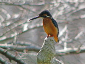 Mar15_JindaiBG_Kingfisher11sRC.jpg