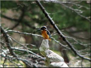 Mar15_JindaiBG_Kingfisher34RC.jpg