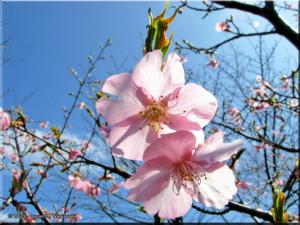 Mar15_JindaiBG_Prunus_kawazuzakurakura03RC.jpg