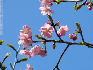 Mar15_JindaiBG_Prunus_kawazuzakurakura07RC.jpg