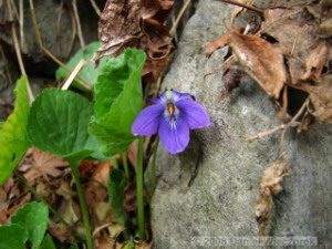 Mar16_KagenobuTrail_Viola_sororia04RC.jpg