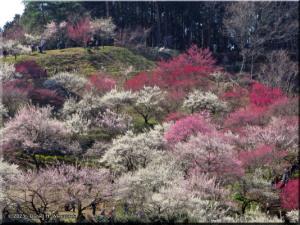 Mar22_Hinatawada_YoshinoBaigoPlum05RC.jpg