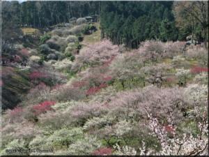 Mar22_Hinatawada_YoshinoBaigoPlum09RC.jpg