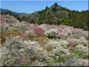 Mar22_Hinatawada_YoshinoBaigoPlum115RC.jpg