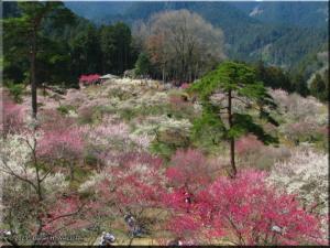 Mar22_Hinatawada_YoshinoBaigoPlum125RC.jpg