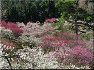 Mar22_Hinatawada_YoshinoBaigoPlum132RC.jpg