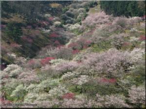Mar22_Hinatawada_YoshinoBaigoPlum13RC.jpg