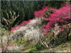 Mar22_Hinatawada_YoshinoBaigoPlum149_BESTRC.jpg