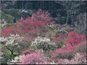 Mar22_Hinatawada_YoshinoBaigoPlum16RC.jpg