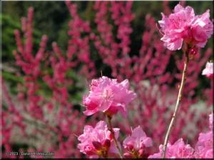 Mar22_Hinatawada_YoshinoBaigoPlum176RC.jpg