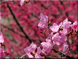Mar22_Hinatawada_YoshinoBaigoPlum179_BESTRC.jpg