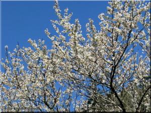 Mar22_Hinatawada_YoshinoBaigoPlum19RC.jpg