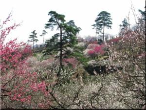 Mar22_Hinatawada_YoshinoBaigoPlum31RC.jpg