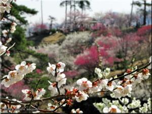 Mar22_Hinatawada_YoshinoBaigoPlum36RC.jpg