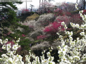 Mar22_Hinatawada_YoshinoBaigoPlum37RC.jpg