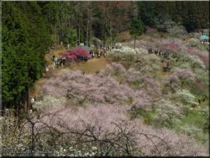 Mar22_Hinatawada_YoshinoBaigoPlum60RC.jpg