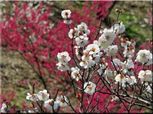 Mar22_Hinatawada_YoshinoBaigoPlum77_BESTRC.jpg
