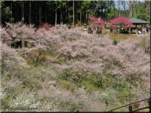 Mar22_Hinatawada_YoshinoBaigoPlum81RC.jpg