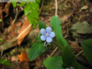 Mar23_Takao_Omphalodes_japonica05RC.jpg