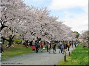 Mar29_Koishikawa_Cherry02RC.jpg